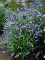 LS Buddleja 'Buzz Lavender', plant.jpg