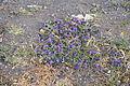 La Palma - Brena Baja - Los Cancajos - Calle Los Cancajos - Echium plantagineum 02 ies.jpg