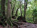 La Selva virgen de Laurisilva, La Palma.jpg