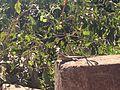 Lagarto ou calango tomando sol.jpg