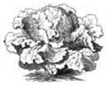 Laitue hâtive de Simpson Vilmorin-Andrieux 1883.png