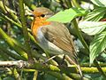 Lake District robin.jpg