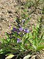 Lallemantia canescens - Flickr - peganum.jpg