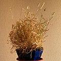 Lamarckia aurea20150813 3957.jpg