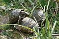 Landschildkrötenpaarung.jpg