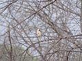 Lanius cristatus - Brown Shrike - Color Abberation Mutation 04.jpg