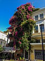 Large Bougainvillea tree in Athens.jpg