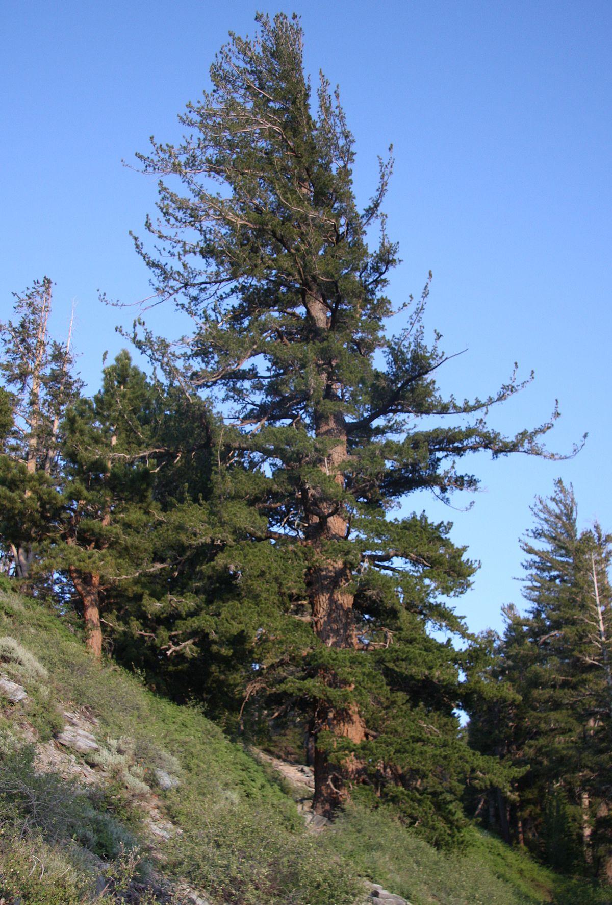 Pinus monticola - Wikispecies