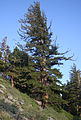 Large Pinus monticola far Lake George.jpg