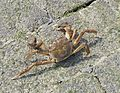 Large crab in Holland Eriocheir Sinensis.jpg