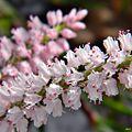 Largeflower jointweed (Polygonella robusta).jpg