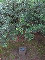 Laurelhurst Park, Portland - Osmanthus heterophyllus 2012.JPG