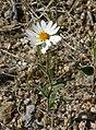 Layia glandulosa 3.jpg