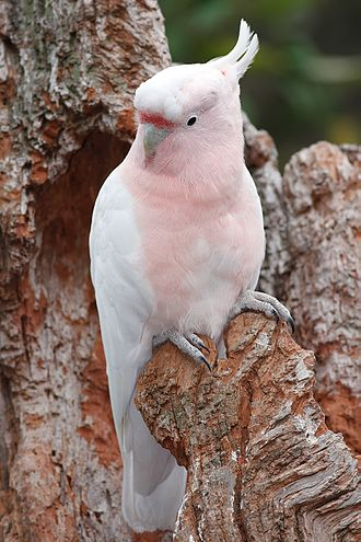 Major Mitchell's cockatoo - Adult perched on a tree in Melbourne Zoo