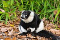 Lemur (36790287194).jpg