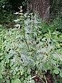 Leonurus cardiaca subsp. cardiaca sl19.jpg