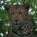 Leopard (6593632593).jpg