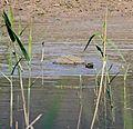 Leopard Tortoise (Stigmochelys pardalis) bathing ... (32660388901).jpg