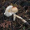 Lepiota clypeolaria (33190302862).jpg
