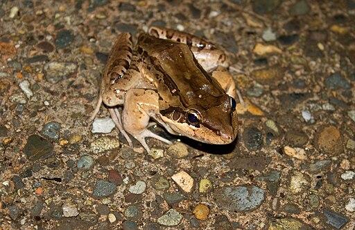Rana gigante terrestre Leptodactylus pentadactylus