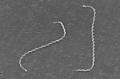 Leptospira interrogans strain RGA 01.png