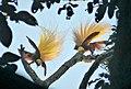 Lesser Bird of Paradise (Paradidaea minor) (48759785042).jpg