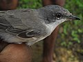 Lesser Whitethroat (4820474311).jpg
