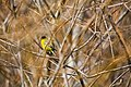 Lesser goldfinch (31689041905).jpg