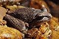 Lesueurs Frog04.jpg