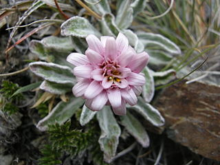 <i>Leucheria</i> genus of plants