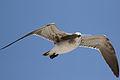 Leucophaeus atricilla feather 03.JPG