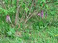 Leutratal-Orchis-purpurea-2499.jpg