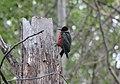 Lewis's Woodpecker (14562192916).jpg