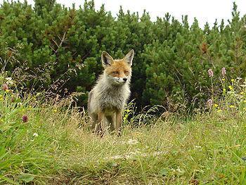 Wikijunior gli animali del bosco/copertina