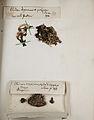 Lichenes Helvetici pars altera 025.jpg