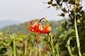 Lilium amabile 1.jpg