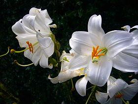 Цветок лилия википедия