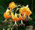 Lilium humboldtii 4.jpg