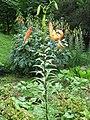 Lilium lancifolium full plant.JPG