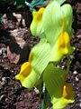 Linaria vulgaris FlowersCloseup 25April2009 DehesaBoyalPuertollano.jpg