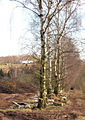 Line of birches - geograph.org.uk - 678183.jpg