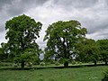 Line of trees - geograph.org.uk - 431342.jpg