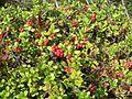 Lingonberries big bush.jpg