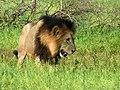 Lion (Panthera leo) (6041121781).jpg