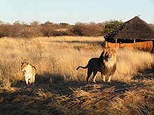 Lion and lioness in namibia.jpg
