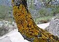 Liquen sobre un ameteller a Llombai, la Vall de Gallinera.jpg