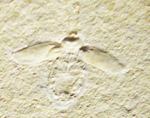 Tegmen - Lithoblatta lithophila, a Jurassic fossil, some 200 million years more recent than the emergence of cockroaches in the Carboniferous. Even the earliest cockroaches had tegmina that fossilised well.