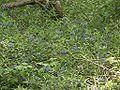 Lithospermum purpureocaerulum 110503.jpg
