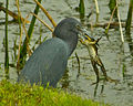 Little Blue Heron Eating Frog.jpg