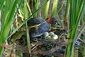 Little Grebe (Tachybaptus ruficollis) on its nest with eggs ... (26069369593).jpg
